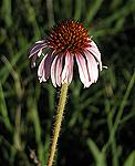 Echinacea angustifolia; more wild echinacea has been harvested in Kansas than in any other state.